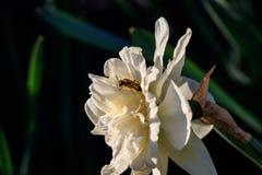 Narcisos hermosos de Terry del verano con la abeja Imagenes de archivo