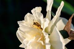 Narcisos hermosos de Terry del verano con la abeja Foto de archivo libre de regalías