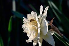 Narcisos hermosos de Terry del verano con la abeja Imagen de archivo