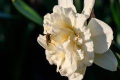 Narcisos hermosos de Terry del verano con la abeja Imágenes de archivo libres de regalías