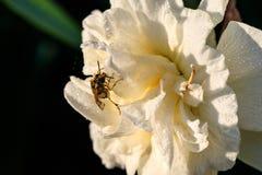 Narcisos hermosos de Terry del verano con la abeja Fotografía de archivo libre de regalías