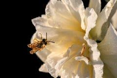 Narcisos hermosos de Terry del verano con la abeja Fotos de archivo libres de regalías