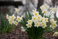 Narcisos hermosos en el parque Fotografía de archivo libre de regalías