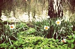Narcisos, ortiga, y abedul blancos, filtro retro Imagen de archivo