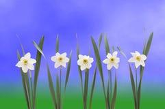 Narcisos sobre fondo azul imagenes de archivo