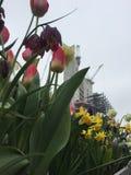 Narcisos y tulipanes en el primero plano de los trabajos del edificio imagenes de archivo
