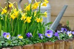 Narcisos y viola en jardín Fotografía de archivo libre de regalías