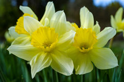 Narciss春天花 库存照片