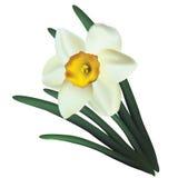 Narcisse. Image libre de droits