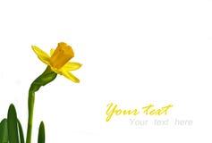 Narcisse Image libre de droits