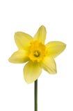 Narcisse Photo libre de droits