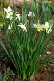 Narcisse. Photographie stock libre de droits