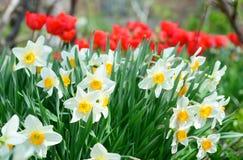 Narcisse avec les fleurs rouges de tulipes sur le parterre de ressort Fleur de narcisse ?galement connue sous le nom de jonquille photo stock