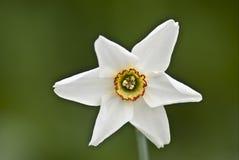 Narcisse blanc Photos stock