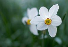 Narcisse blanc Image libre de droits