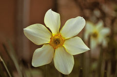 Narcisse blanc Photos libres de droits