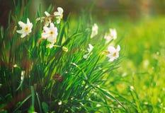 Narcisse blanc avec l'herbe verte et le rayon du soleil, non focalisés Photographie stock libre de droits