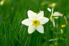 Narcisse blanc dans un jardin Images stock