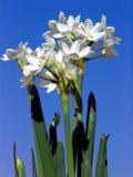 Narcisse blanc de papier Image libre de droits