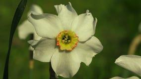 Narcisse blanc 4K clips vidéos