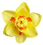 Narcisse coloré Photo libre de droits