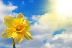 Narcisse contre le ciel Photographie stock