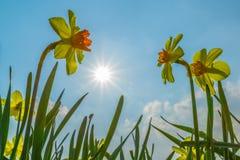 Narcisse contre le ciel bleu Photographie stock libre de droits