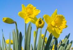 Narcisse contre un ciel bleu Photographie stock