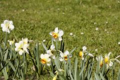 Narcisse dans une rangée Fleurs dans en bas à gauche le faisant le coin Photographie stock