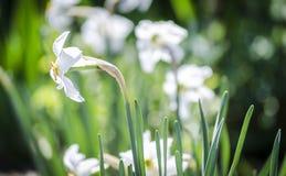 Narcisse de fleur au printemps Images libres de droits