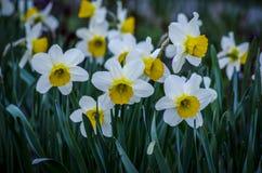 Narcisse de fleur de ressort Image stock
