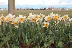 Narcisse de floraison une journée de printemps ensoleillée Image stock