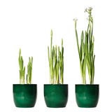 Narcisse de Paperwhite Image stock