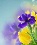 Narcisse et iris de ressort Photo libre de droits