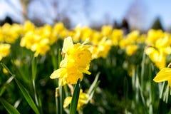 Narcisse jaune Image libre de droits