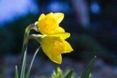 Narcisse jaune Image stock