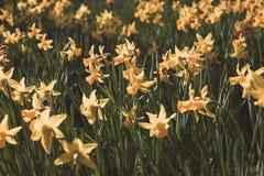 Narcisse jaune Images libres de droits