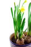 Narcisse jaune dans le bac d'isolement Images libres de droits