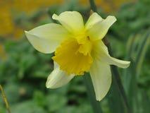 Narcisse ou jonquille Images libres de droits