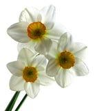 Narcisse trois Image stock