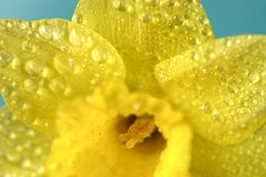Narcissen. royalty-vrije stock fotografie