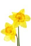 Narcissen stock afbeelding