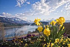 Narcissen, berg en meer Stock Foto