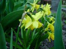 Narcissen in de lente Bloeiende gele narcissen, Narcissen, in de tuin Weide met gele bestraalde die gele narcissen wordt gevuld Stock Afbeeldingen