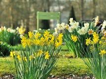 Narcissen die in een park bloeien Royalty-vrije Stock Afbeelding