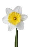 Narcissen, gele narcis, jonquille die op witte achtergrond wordt geïsoleerd Stock Foto