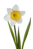 Narcissen, gele narcis, jonquille die op witte achtergrond wordt geïsoleerd Stock Fotografie