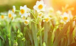 Narcissenbloemen Royalty-vrije Stock Afbeeldingen