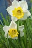Narcissenbloemen Royalty-vrije Stock Afbeelding