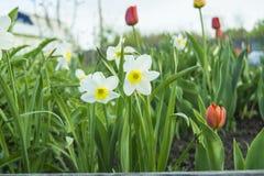 Narcissenbloemen Stock Afbeelding